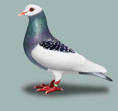 Standard for Bernhardiner Magpie Pigeon Pictures, Dove Pictures, Beautiful Butterflies, Beautiful Birds, Animals Beautiful, Pink Pigeon, Pigeon Breeds, Pigeon Loft, Magpie