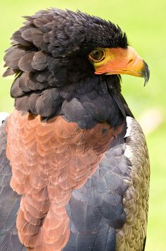 Bataleur Eagle (Captive) by geoff-e