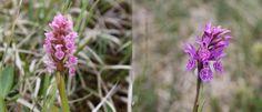 Engmarihand og lappmarihand er orkideer som ofte sees på slåttemyrer i områder med kalkrik berggrunn. Foto: Ingvild Gabrielsen