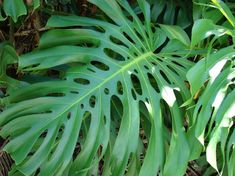 Costilla de Adán: consejos para tenerla siempre perfecta - http://www.jardineriaon.com/costilla-de-adan-consejos-para-tenerla-siempre-perfecta.html #plantas