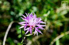 "Centaurea kartschiana scop.  ""Fiordaliso del Carso"", specie protetta. Duino, 2015."