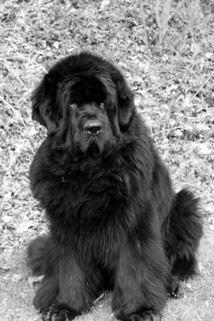 Newfoundland dog!  I want one when I move back to Alaska!    Alaska?  Probably good dog for there.  I'll take one here in NY.