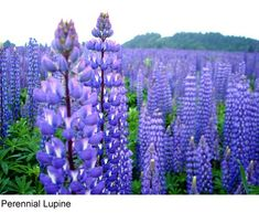 Blue Lupine Wildflower Seed- 1/2# Pound, Lupinus Perennis- Covers 30,000 Square Feet!