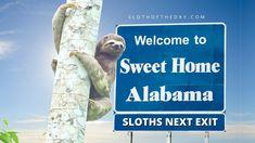 See Hold Sloths in Alabama Sloth Experience - Sloth Of The Day Birmingham Zoo, Birmingham Alabama, Alabama Gulf Coast Zoo, Baby Sloth, Sweet Home Alabama, Sloths, Exotic Pets, Habitats, Birmingham