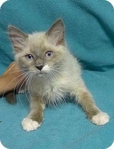 Long Beach, CA - Siamese. Meet Charlie Brown, a kitten for adoption. http://www.adoptapet.com/pet/13100143-long-beach-california-kitten