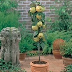 Buy Apple Golden Spur at J Parkers. Golden variety of spur apple tree producing fruits similar to those of the Golden Delicious family. Patio Fruit Trees, Fruit Trees In Containers, Dwarf Fruit Trees, Growing Fruit Trees, Fast Growing Trees, Patio Plants, Growing Grapes, Grapevine Growing, Apple Picture