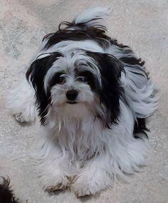 Jinx's sister Zoey - Angel Doll puppy Maltese, Lhasa apso, Yorkie and LH Chihuahua.  We keep Jinx's hair short!!