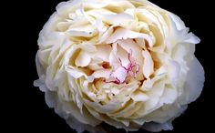 A fragrant, warm shade of vanilla white, this extremely large bloom with very wide petals is the poster child for shabby-chic appeal… like a featherbed for fairies just bloomed in you garden!  Late Mid-season, Herbaceous, Double