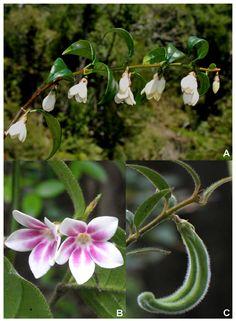 Elytropus chilensis