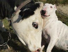 Cow & #bully unusual friendship