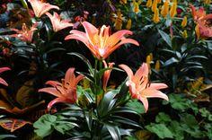 Longwood Gardens - Tiger Lillies