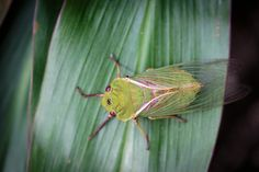 https://flic.kr/p/215Y5eH | The Cicada | The cicadas are a superfamily, the Cicadoidea, of insects in the order Hemiptera. They are in the suborder Auchenorrhyncha, along with smaller jumping bugs such as leafhoppers and froghoppers