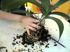 PASO A PASO - Transplante de Orquídea Phalaenopsis Enferma - Caso # 2 - YouTube