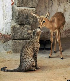 In this Wednesday, May 23, 2012 photograph, a young deer and a cat share a moment in Feench village near Jodhpur, Rajasthan state, India. (AP Photo)