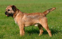 Natural da Grã-Bretanha, esse cão é capaz de seguir um cavalo, combinando atividade e coragem. É um Terrier essencialmente de trabalho. Sua cabeça se assemelha à de uma lontra.  O crânio é moderadamente largo, e o focinho é curto e forte. Sua pelagem é curta, dura e densa, com sub-pelo cerrado, por isso não precisa de escovação. Sua pele é grossa.   #BorderTerrier #Raçadecachorro