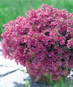 Diascia - Outstanding on its own or as a filler in your baskets or containers. Comes in an array of colours.