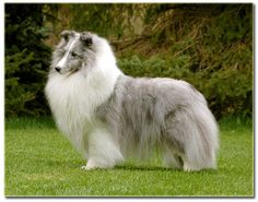 Gorgeous Blue Merle sheltie!
