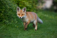 Young Fox by Marcello Zerletti on 500px