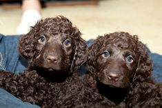 Image result for irish water spaniel puppy