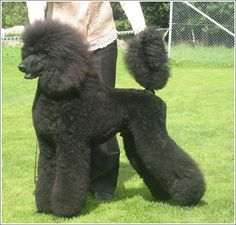 clip - Poodle Forum - Standard Poodle, Toy Poodle, Miniature Poodle ...