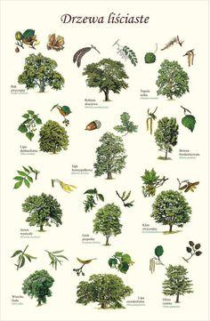 Plant Illustration, Botanical Illustration, Botanical Drawings, Botanical Prints, Trees And Shrubs, Trees To Plant, Tree Study, Tree Identification, Plant Drawing