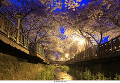 Jinhae cherry blossom festival   (Origin : travelsajin)