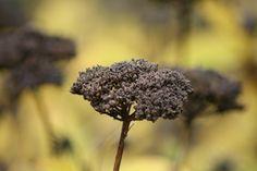Seed head with strands, taken in Horniman Gardens, London