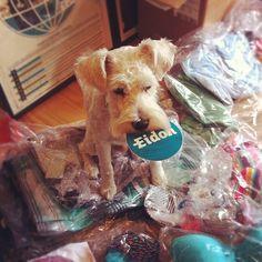 Even our office #dog is a fan #surfdog #eidon #eidonsurf #boardshorts #bikinis #sticker #schnauzer