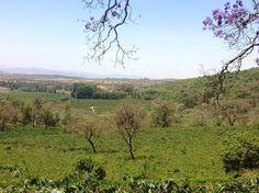 Coffee plantation in the Arusha region of Tanzania.