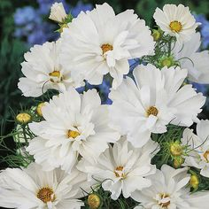 Cosmos Seeds - PSYCHE WHITE - Scalloped Blooms - Cosmos Bipinnatus- 25 Seeds | eBay