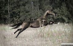 Galloping Akhal-Teke