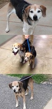 Please network for these two 9-yr old BONDED beagles (mix): Ethel (23524305), female, 23 lbs & Fred (23524289), male, 54 lbs; both are OUT OF TIME at a FULL, HIGH-KILL shelter in Greenville, SC. Both are HW negative, dog/people friendly & although not listed, should be available for adoption, foster or rescue. Fred & Ethel need our help to make it out of this shelter alive and into a loving, forever home together!