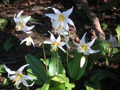 Avalanche Lily (Erythronium montanum)