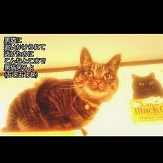 身軽なゴマちゃん(♀)は、 ババちゃん(♂)に追いかけられると、 ババちゃん(重量級)が登れないテレビボード(天井近くまで高さがある)の上へと避難😸 #愛猫#猫#猫部#ねこ部#きじとら #きじとら猫#キジトラ#キジトラ部 #キジネコ#きじねこ#きじとらねこ #きじとら部#cat#gato#gatto#chato #japanesecat#ねこら部#保護猫#元野良猫 #愛猫同好会#愛猫家#catstagrammer #catstagram#catlover#黒猫#BRACKCAT #俳句#多頭飼い#リジェ猫 ★ペットショップで買わないで★ これから猫や犬を飼う方は、お金で買わずに、 里親さんになるという選択肢も入れてくださると、 日々殺処分され続けてる保健所の犬猫達や、 ペットショップの裏側で過酷な環境を強いられ続け最期は殺処分という不遇な繁殖犬や繁殖猫が、救われます😺🐶 ペットショップで買う人が居なくなれば、売れ残ったまま大きくなって殺処分されてしまう犬猫も救われます😺🐶