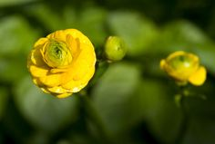 Double-flowered Buttercup