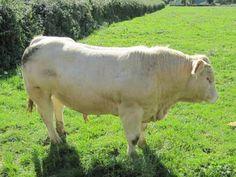Charolais cattle.