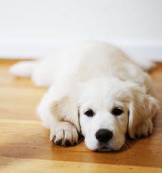 Flat dog. English Cream Golden Retriever puppy