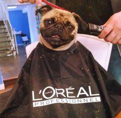 Pugs getting hair did! Pug Love, I Love Dogs, Cute Dogs, Funny Dogs, Funny Animals, Cute Animals, Animals Dog, Fu Dog, Dog Cat