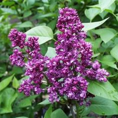Charles Joly Lilac Tree | Syringa Vulgaris - (Lilac) Charles Joly. Could work in the side boundary bed. Do get large but can be pruned to keep size managed..