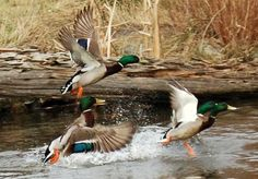 Nothing prettier than some greenheads :) Duck Hunting Boat, Boar Hunting, Waterfowl Hunting, Quail Hunting, Game Birds, Duck Pictures, Pheasant Hunting, Hunting Calls, Partridge