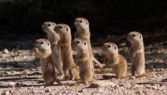 Baby prairie dogs
