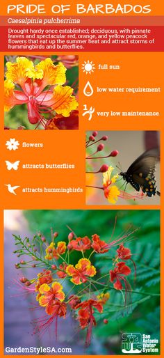 On the hottest days of the year, the drought-hardy Pride of Barbados shrugs off dry weather and offers up fantastic cone-like flowers in orange, red and yellow.
