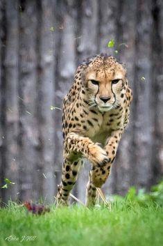 Cheetah in Action Jaguar, Cheetahs, Beautiful Cats, Animals Beautiful, Big Cats, Cute Cats, Big Cat Family, Animals And Pets, Cute Animals