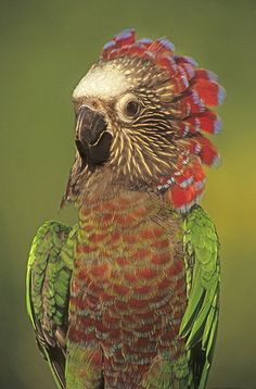 Hawk Headed Parrot Displaying Head Feathers, Venezuela | Gail Melville Shumway Photography