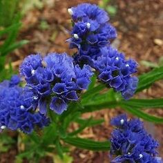 Statice (Limonium Sinuatum Blue River) - Blue Statice is easy-to-grow from Statice seeds, and it is very rewarding with brightly colored, flat flower clusters of deep blue. Limonium Statice blue offer