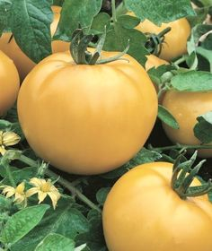 Ineffable Secrets to Growing Tomatoes in Containers Ideas. Remarkable Secrets to Growing Tomatoes in Containers Ideas. Container Vegetables, Types Of Vegetables, Planting Vegetables, Growing Vegetables, Container Gardening, Fruit Garden, Garden Soil, Vegetable Garden, Fruit And Veg