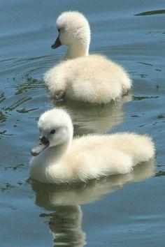 Swan lake and duck pond Beautiful Swan, Beautiful Birds, Animals Beautiful, Swans, Cute Baby Animals, Animals And Pets, Cygnus Olor, Baby Swan, Mute Swan