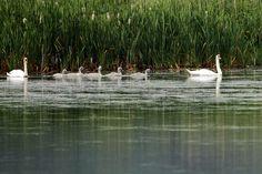 Swans @Leighton_moss