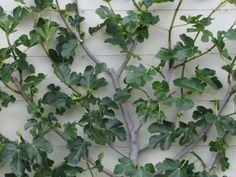 Espeliered Fig Moss Landscape Design (NZ)