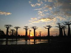 Baobab trees...my favorite that I've seen in person.